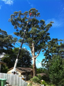 Crane Tree Removal Central Coast