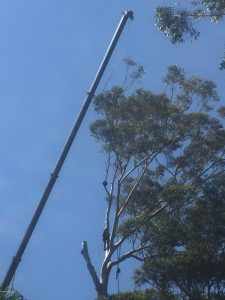 Crane Tree Removal Green Point Part 2