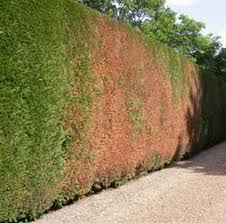 Dieback of a leighton green hedge