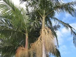 bangalow_palms