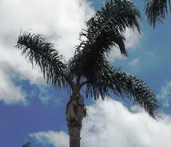 Cocos palm after pruning