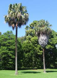 Palm tree removal in Gosford Tree and Garden Central Coast NSW